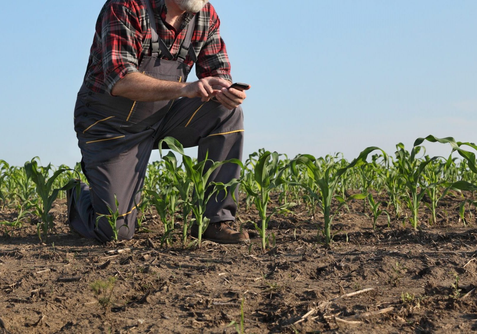 Farmer or agronomist  inspecting quality of corn plants in field and typing to mobile phone
